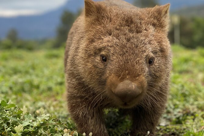 Walking with Wombats Tour All Inclusive, Wildlife, Waterfalls, Rainforest &more