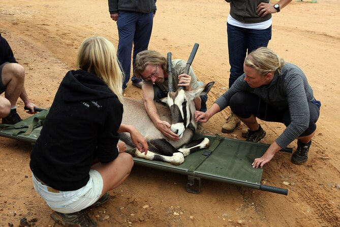 Volunteering at Naankuse could mean any number of conservation related jobs including medical checks of an oryx.
