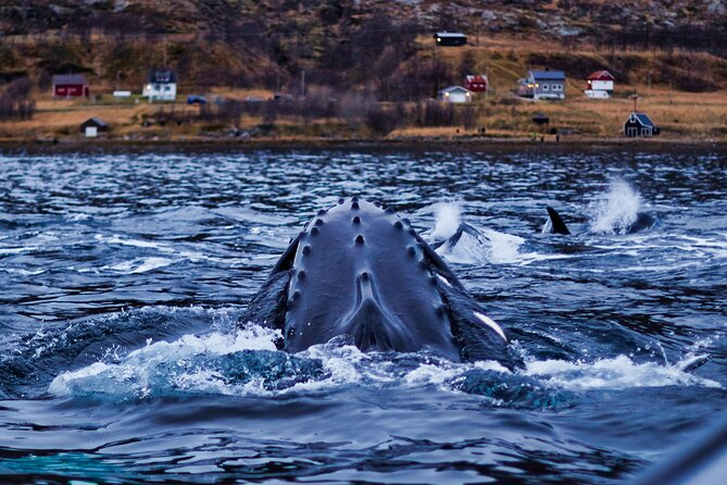 Whale Watching from Skjervoy