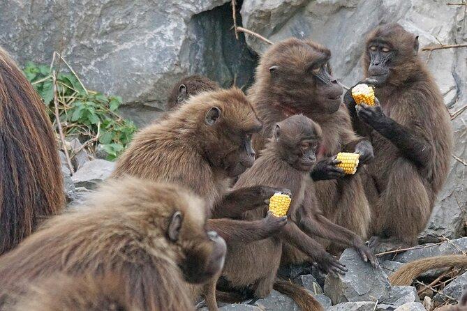Baboons feeding at Shai Hills
