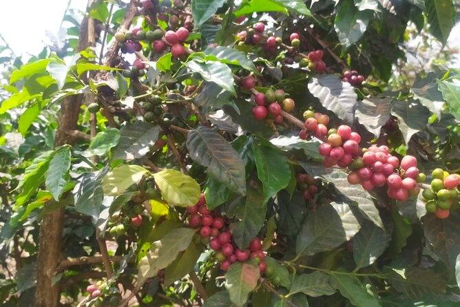 Coffee Farm Half-Day Tour in Kenya