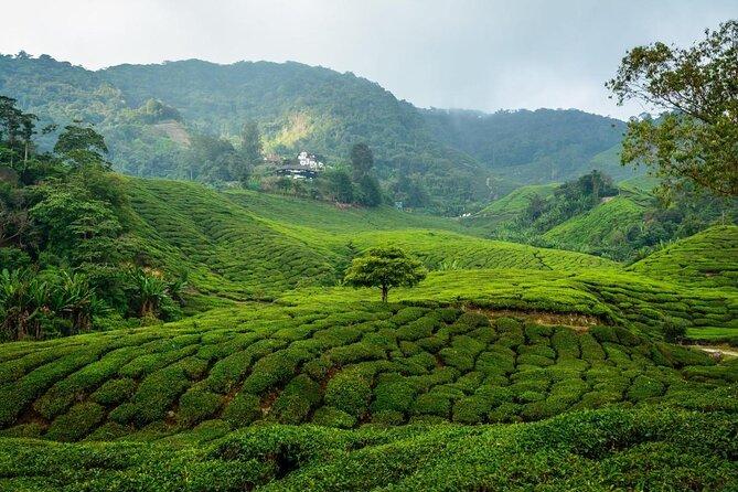 BOH Tea Garden (Boh Tea Plantation)