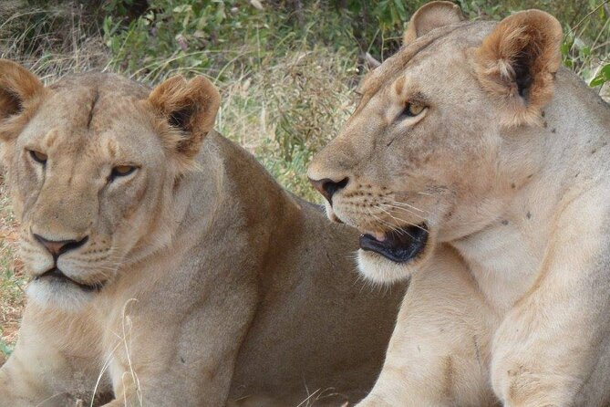 female lions probably sisters having a ciesta