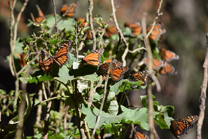Butterfly Monarch Tour from Mexico City