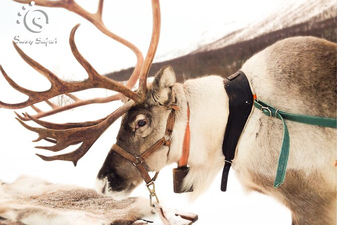 Reindeer Safari in Arctic Wilderness