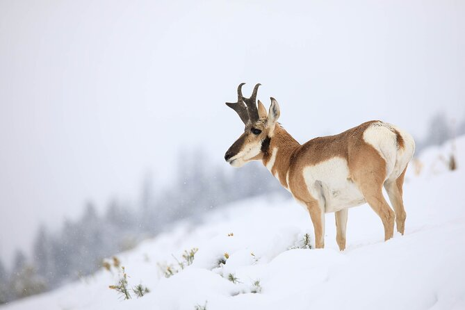 Private Yellowstone Winter Safari from Paradise Valley