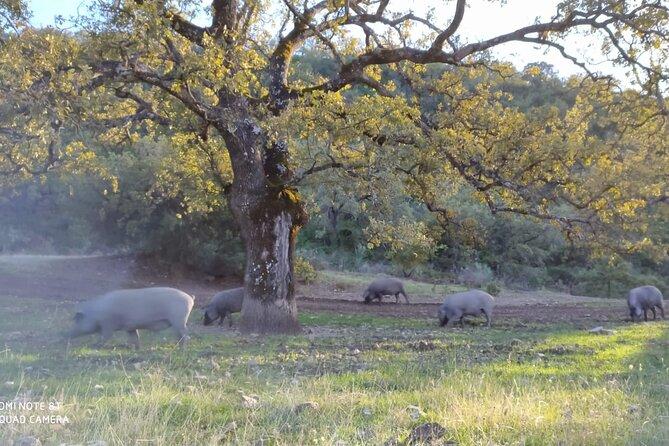 Eco-friendly Iberian pig tour
