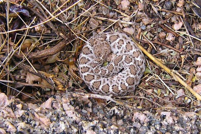 Speckled Rattlesnake