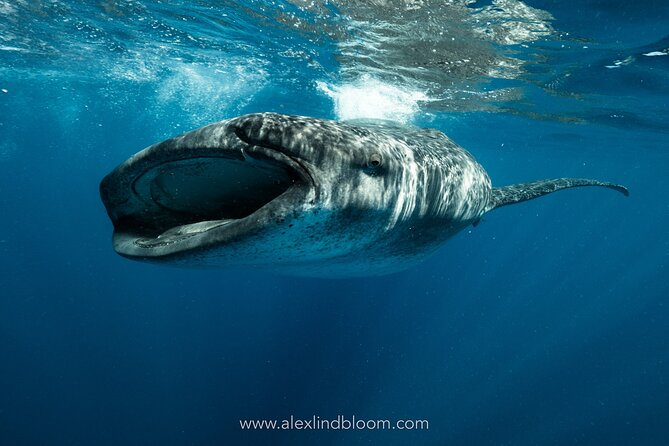 Whale Shark Snorkeling Adventure in Isla Contoy with Lunch