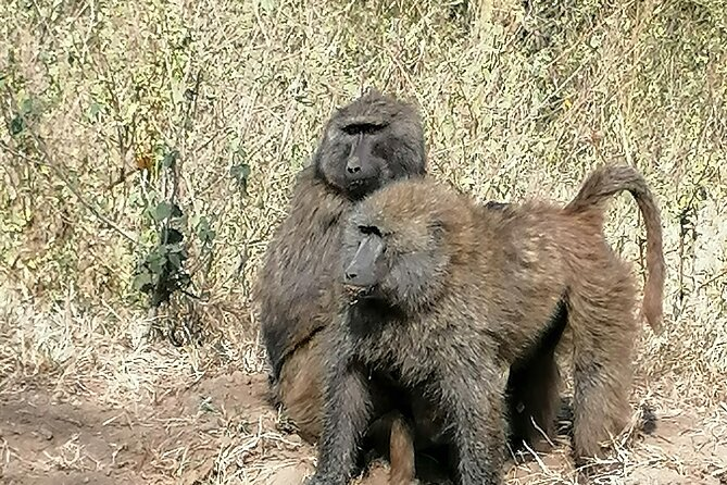 A troop of olive baboon.