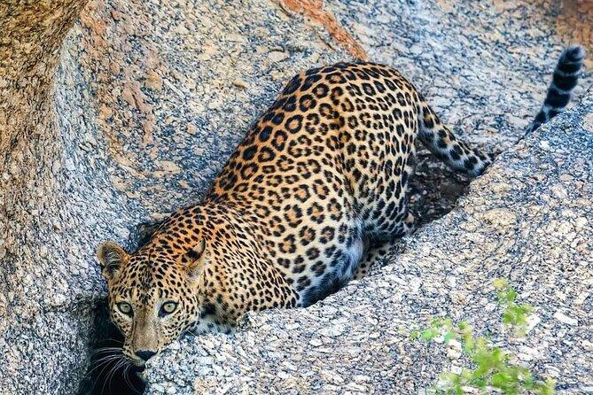 Leopard safari Jawai Dam & Village life ONE and Half day