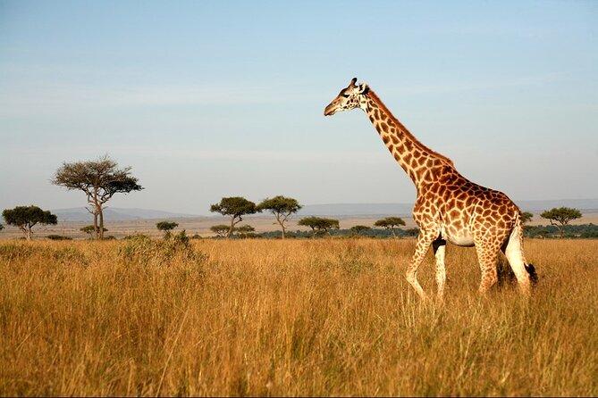 Lone Giraffe in Masai Mara safari tours