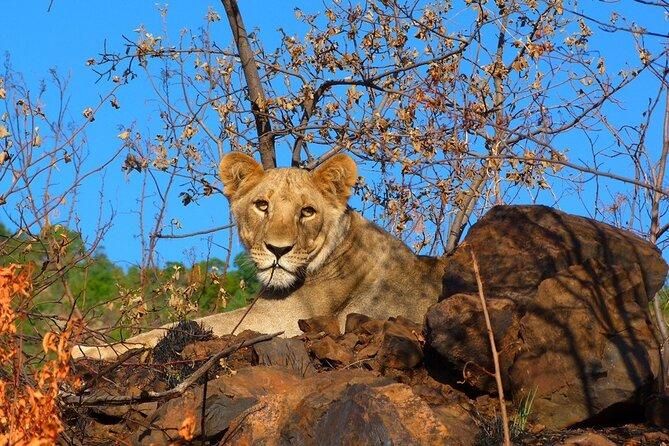 Lion on the rocks Pilanesberg