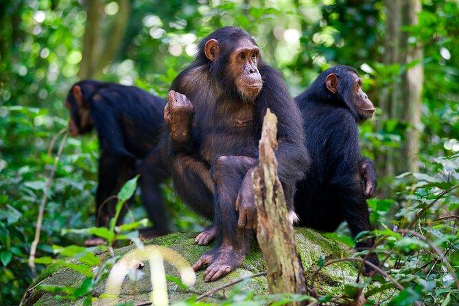 Experience Chimpanzee trekking in Gombe.