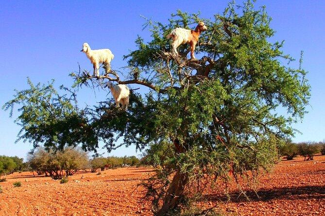 Goats On the Tree - Agadir