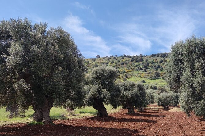 Half Day Walking Tour of Ostuni and Millenary Olive Trees