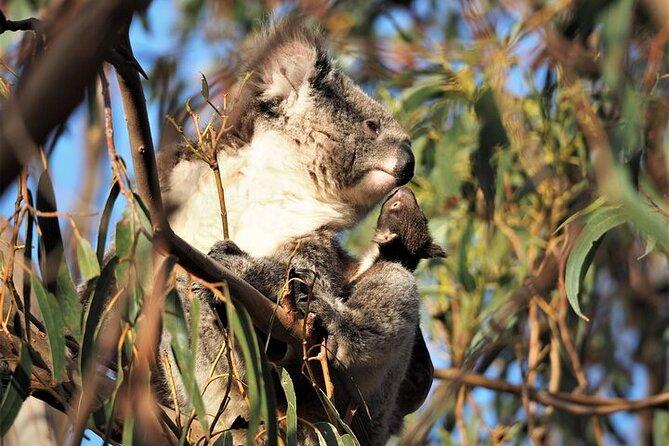2-Hour Koala Walking Tour in Kangaroo Island