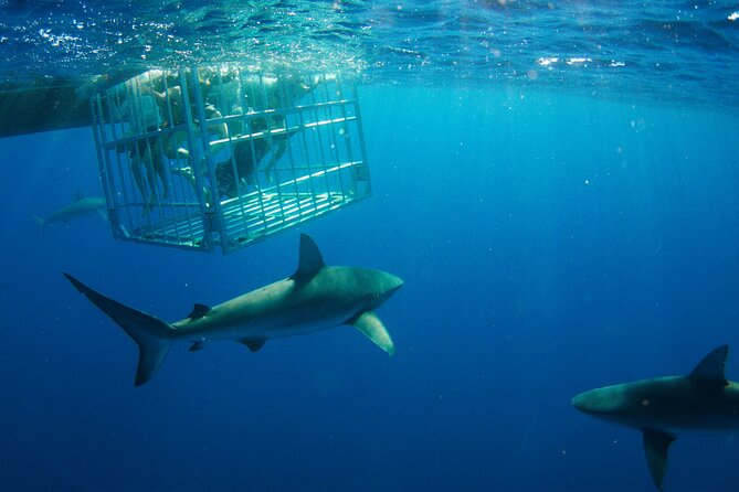 Shark Cage Diving in Hawaii - The Longest Cage Time in the Business