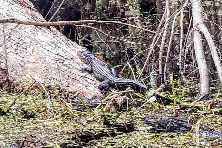 American Alligator Yearling