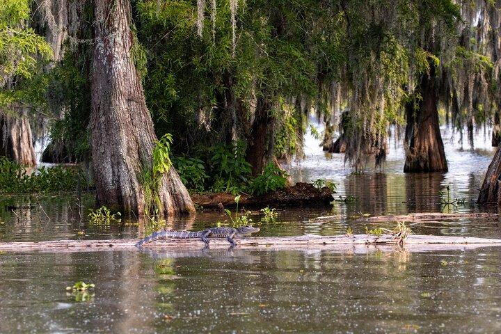 An alligator perches on a log in Lake Martin, Louisiana