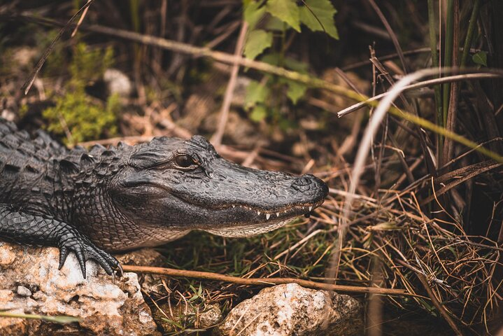 An alligator spotted up-close in Florida