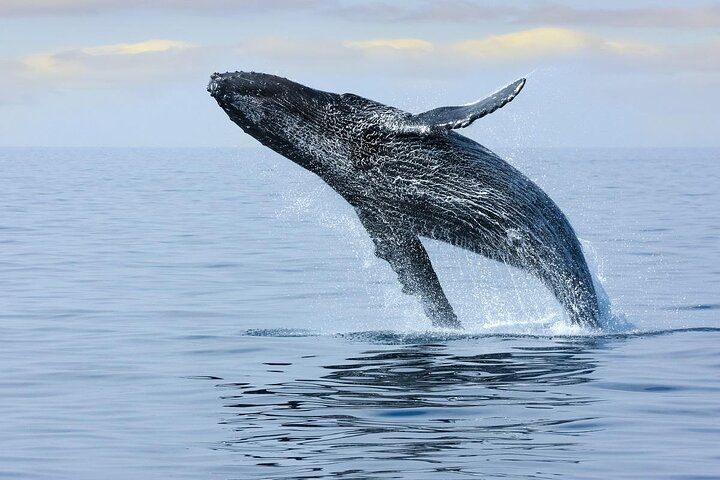 A breaching humpback whales in the waters around Hawaii