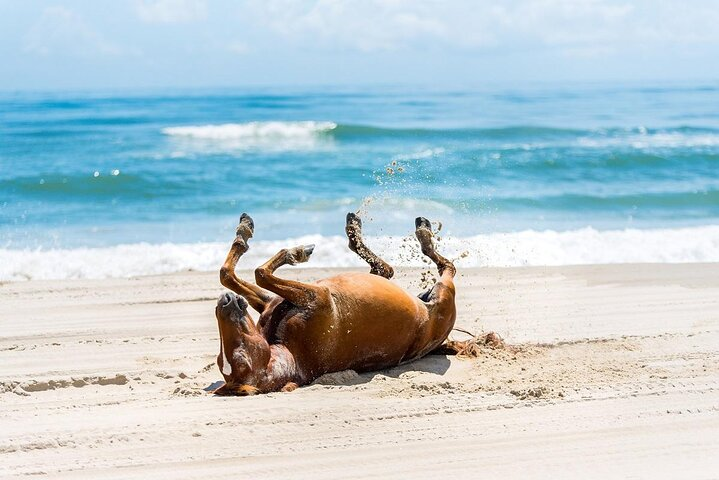 A Wild Mustang horse rolling in soft sand on Corolla Beach, North Carolina