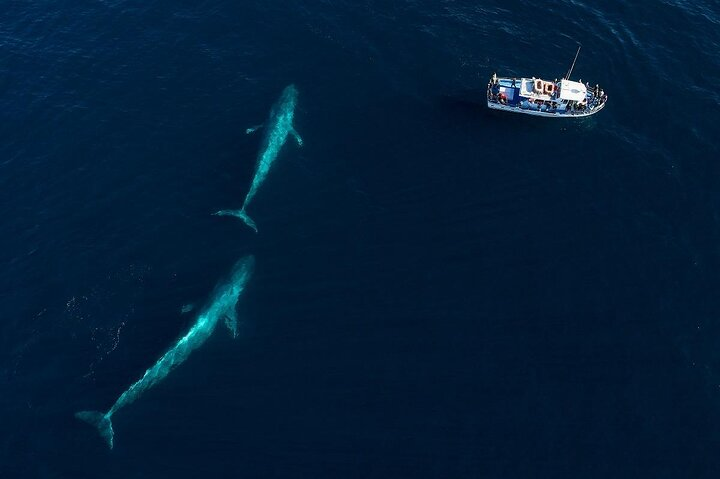 An aerial view of blue whales off the coast of California, USA