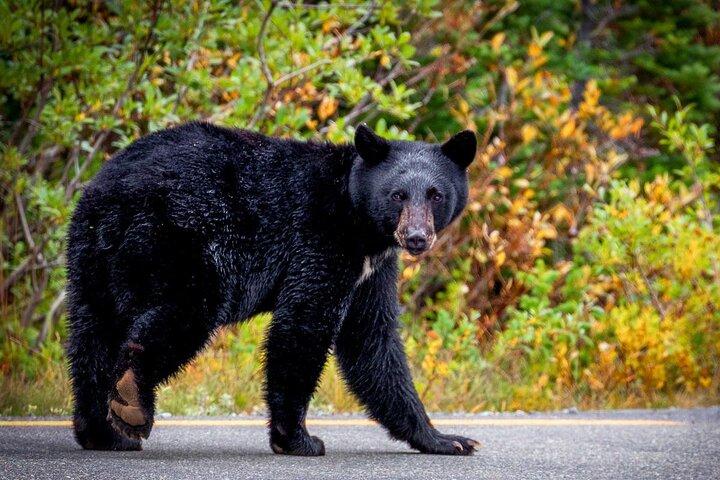 A black bear wanders along a road in Mt. Rainier National Park, Washington State
